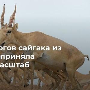 Куплю дорого рога сайгака в Москв