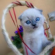 Предлагаю к продаже шотландского вислоухого плюшевого котенка.